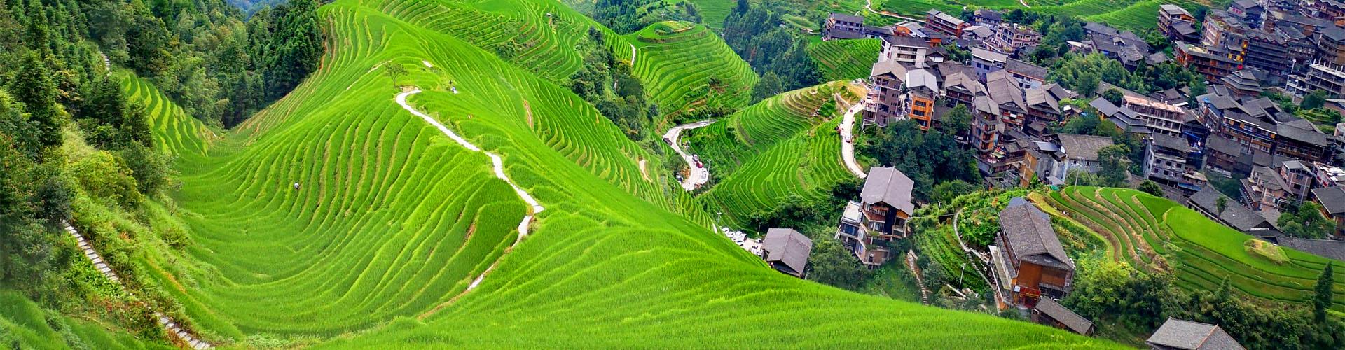 rizière en terrasse de Longji en été