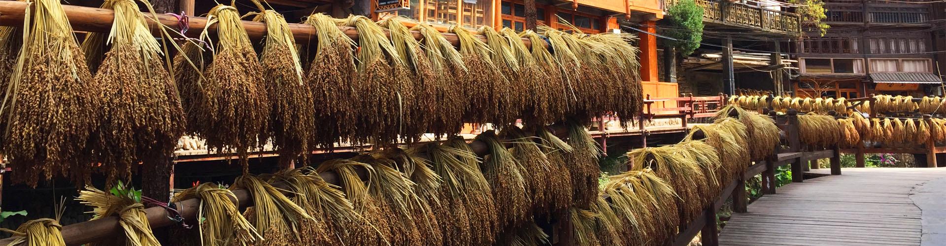 Sécher du riz dans le village Dong du Guizhou