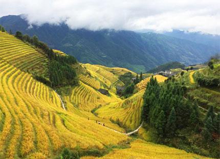 rizières en terrasses de Longji en automne