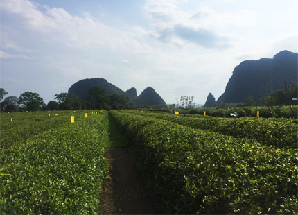 plantation du thé Guilin