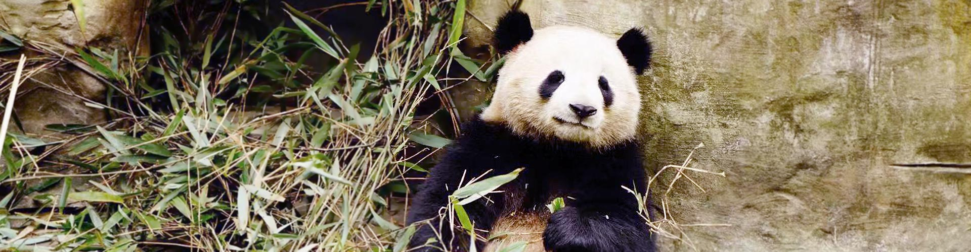 centro de oso panda