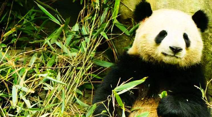 la réserve du panda à Chengdu