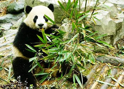 réserve naturelle du panda à Chengdu