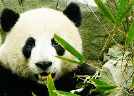la réserve naturelle du panda