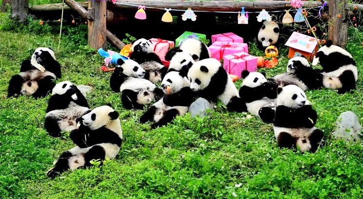 Centre de recherche et d'élevage de Panda à Chengdu