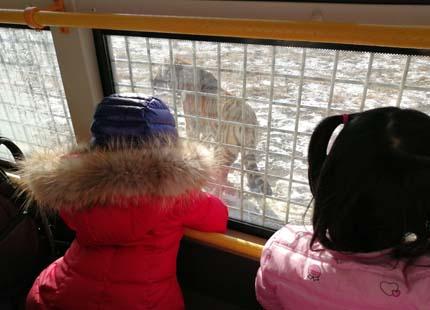 Parc des tigre de Sibérieghua de Harbin